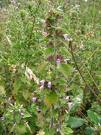 Black horehound, Benefits of Black horehound, Herb for Menopause, Herbs for Health, Ballota nigra