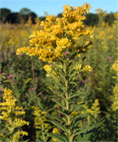 Goldenrod, Herb, Herbal Remedy