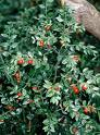 butchers broom, what is butchers broom, Ruscus aculeatus, treatment of syndrome, treatment for stiff neck, treatment for varicose veins, treatment for hemorrhoids, treatment for cramp, treatment for oedema