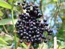 Elder, Elderberry, Elder Flower